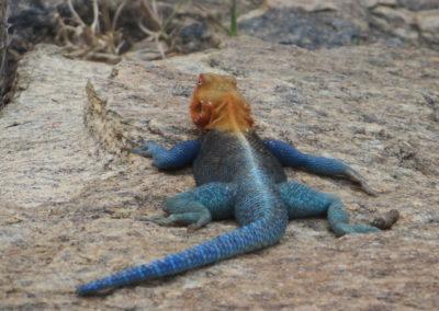 Tsavo East - Salamander