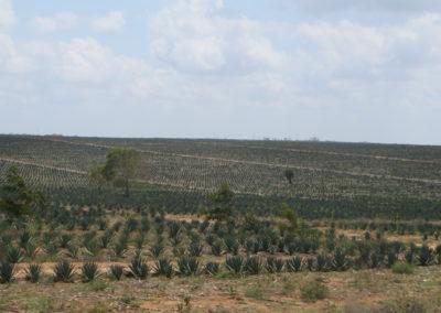 Sisal plantage - Zicht